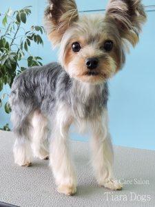 ヨークシャテリアトリミングYorkshire Terrier