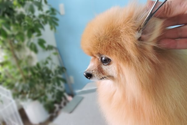 犬の耳掃除