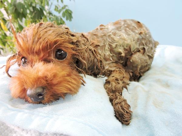 死海の泥パックエステ(犬)